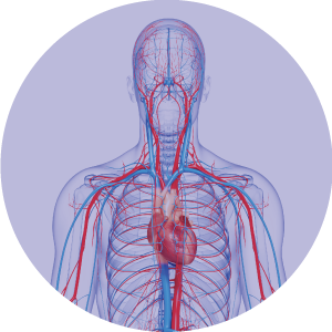 Graphic showing veins and skeleton in head, neck, and chest