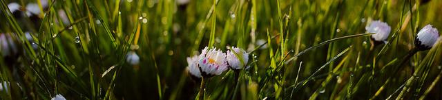 Chamomile Plants