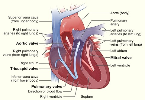 Cardiac Surgery Healthy Heart Cross Section