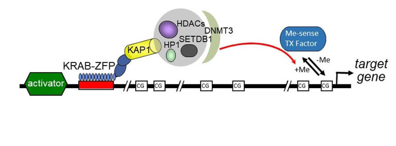 KRAB-ZFPs modulate metabolism, reproduction and evolution via sex-specific epigenetic gene regulation.