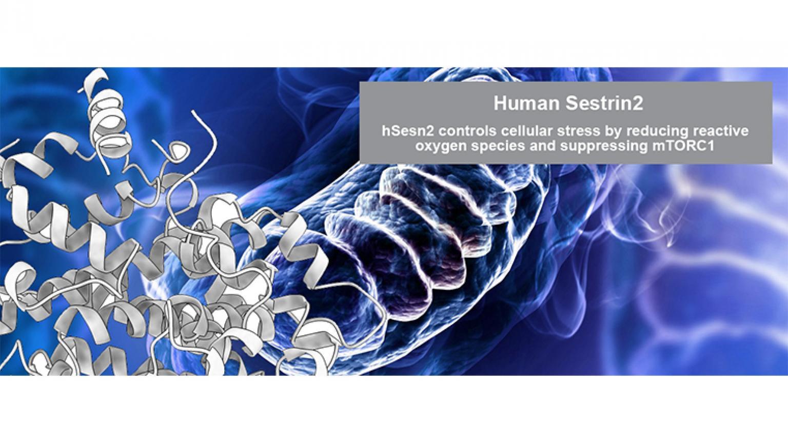 Human Sestrin2