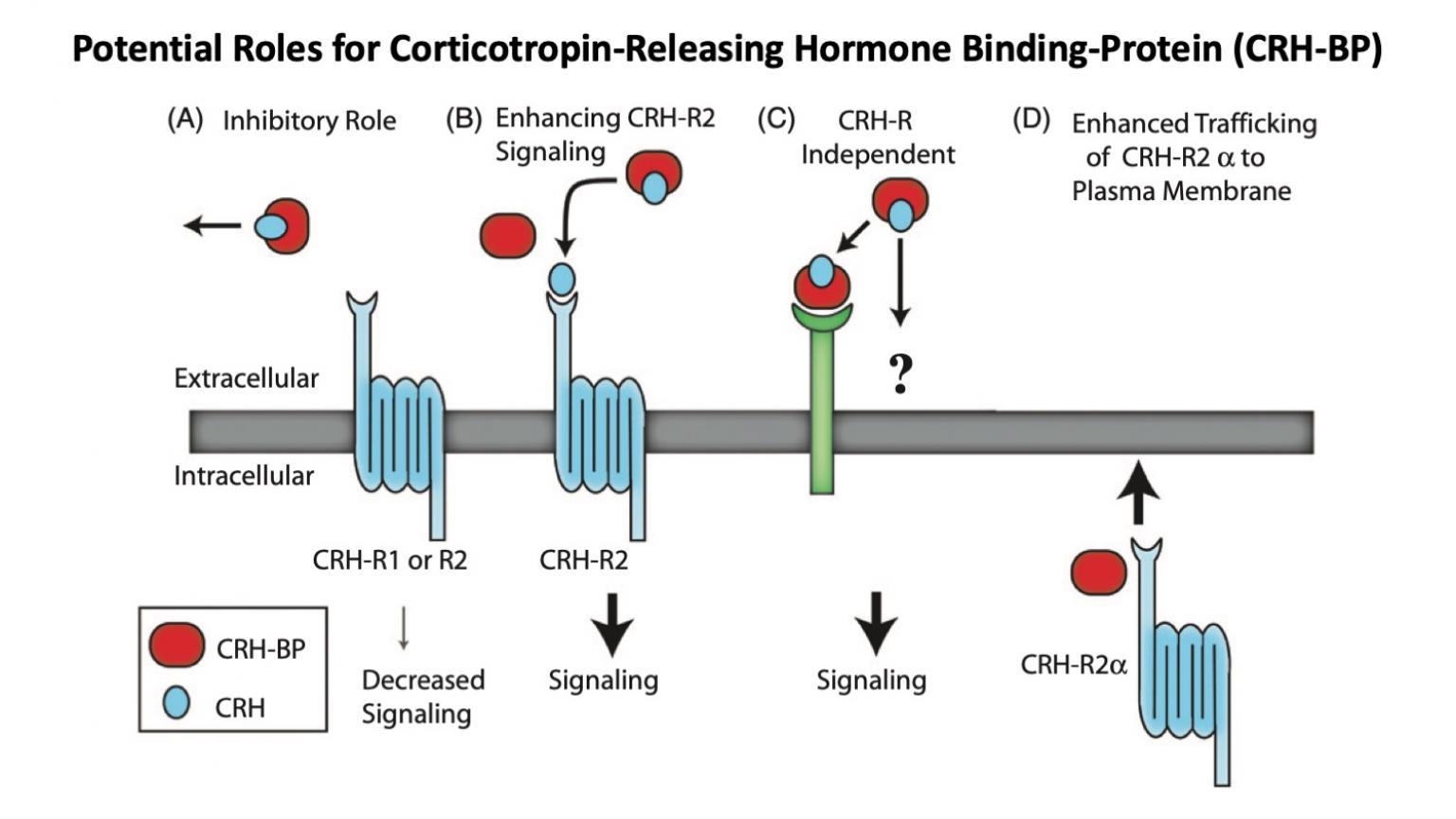 Corticotropin-Releasing Hormone Binding-Protein