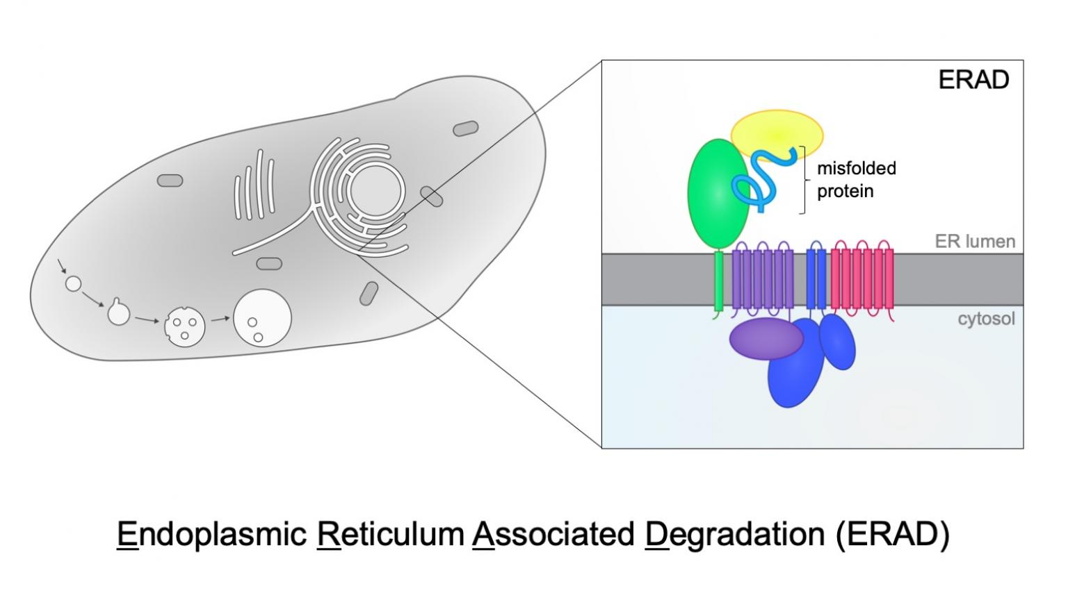 Endoplasmic Reticulum Associated Degradation