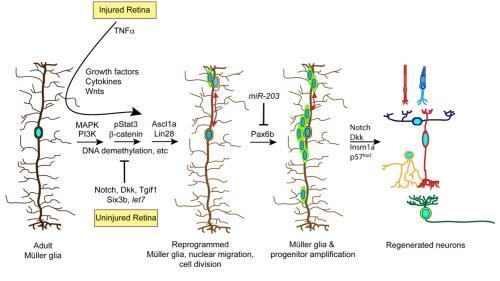 Retina regeneration in zebrafish
