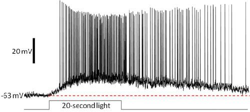 The melanopsin-mediated photoresponse of ipRGC